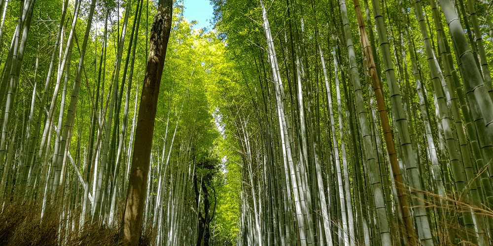 The Bamboo Forest Walk